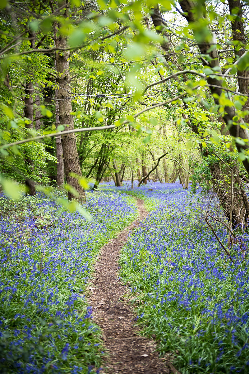 Bluebell forest in England