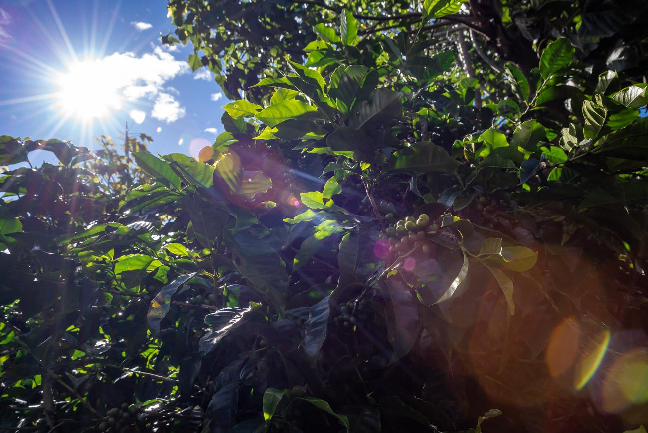 Sun flare shining through coffee plants