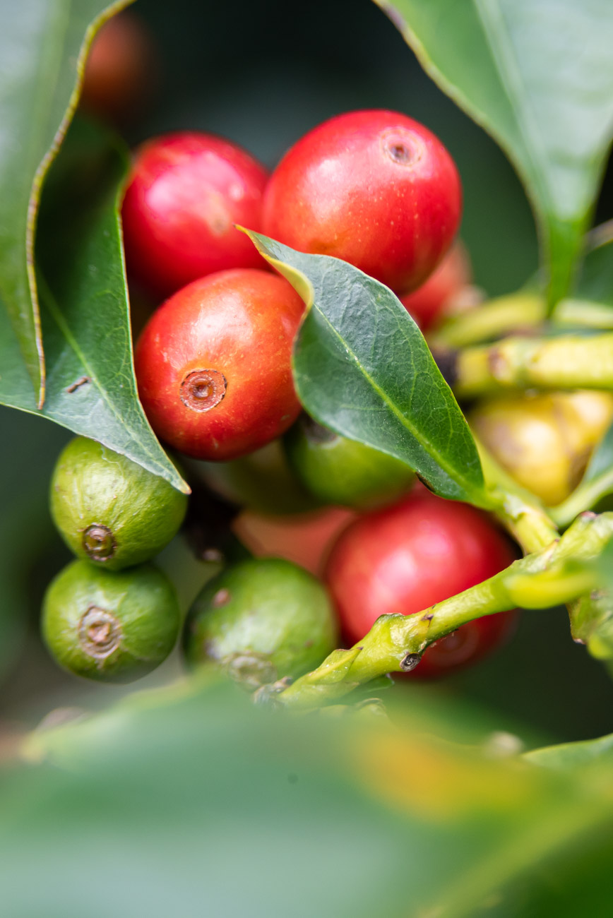 Close up of red coffee beans on a branch with leaves