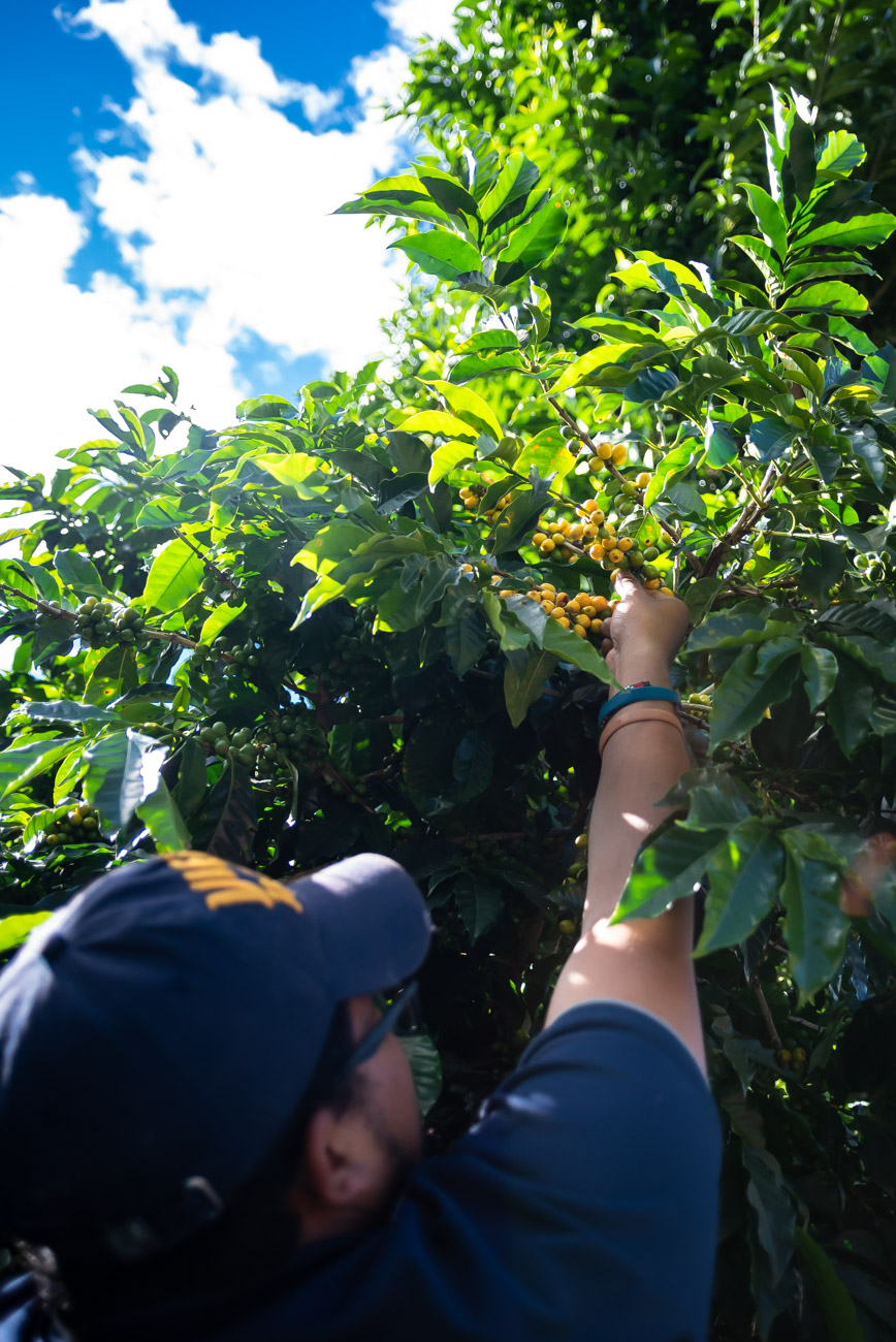 Man picking coffee beans from the plant