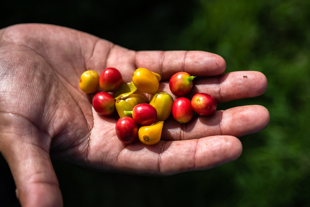 Hand holding yellow and red coffee beans