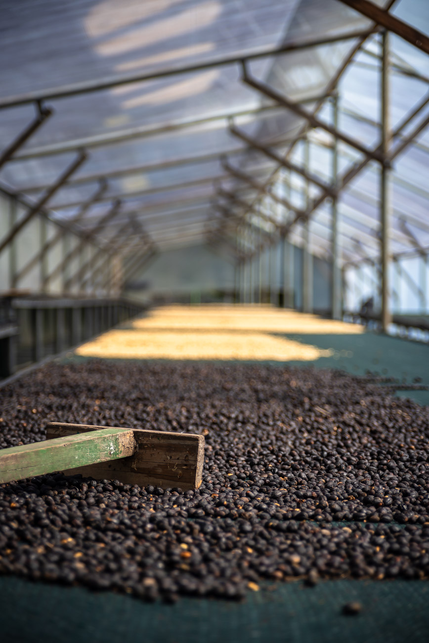 coffee beans left to dry in the sun under a roof