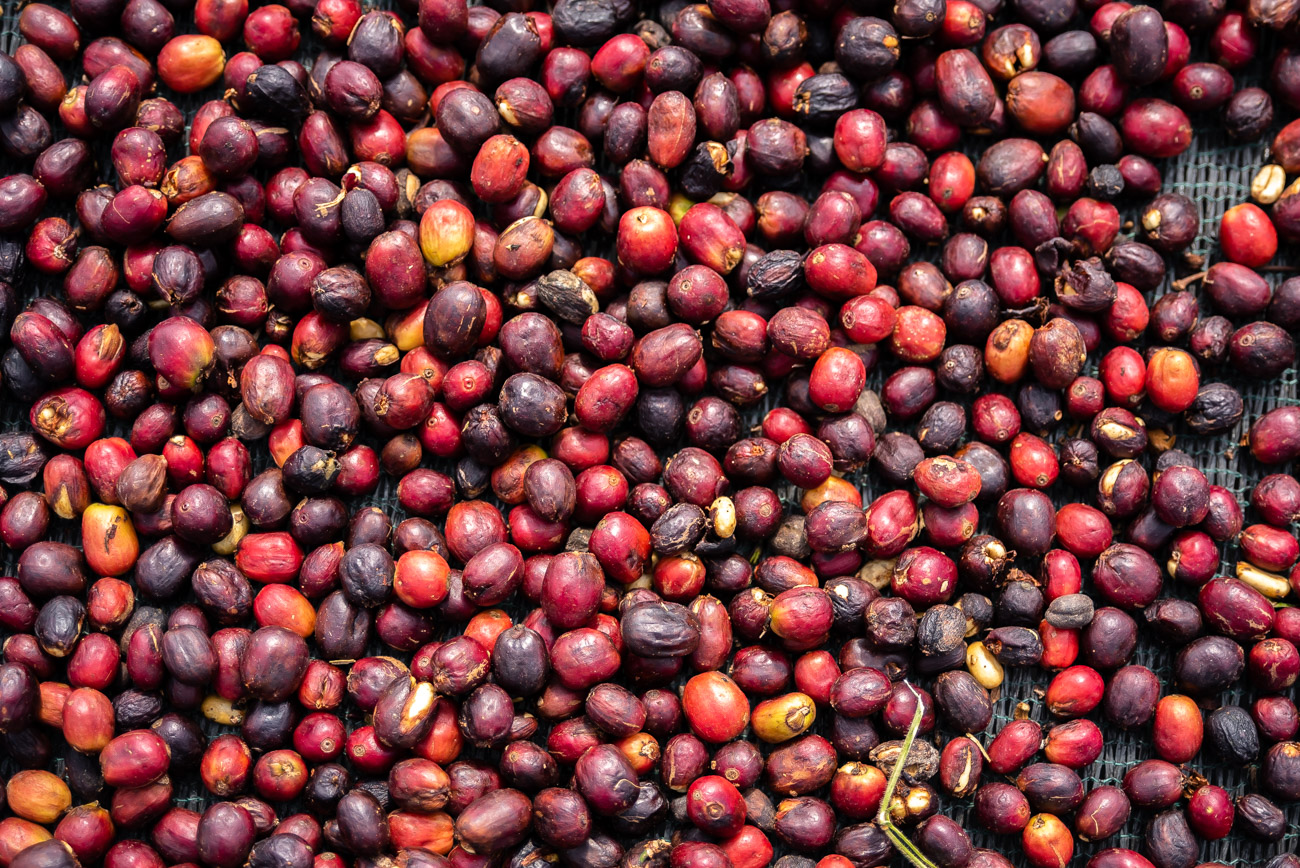 Red coffee beans drying in the sun