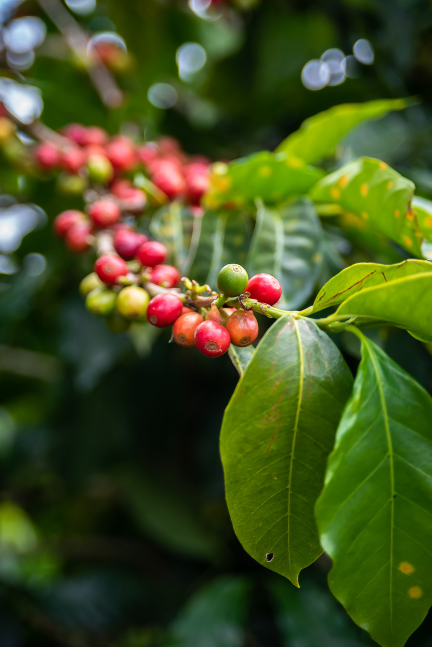 Red coffee beans on a branch with leaves